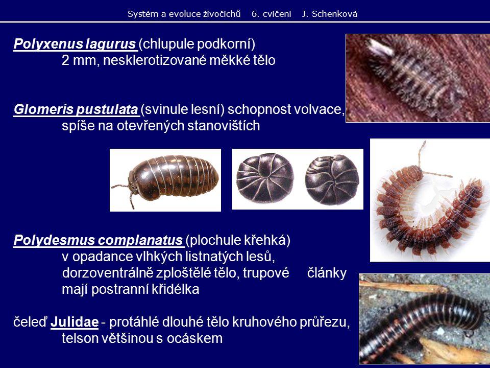 saprofágové a fytofágové v půdě na hlavě mnohočlánková tykadla tělo bez pigmentu, na zadečku 2 vícečlánkové štěty - cerci Campodea (štětinatka) draví, zoofágové, loví chvostoskoky bez očí, dlouhá mnohočlánková tykadla štěty na konci těla klíšťkovité Catajapyx confusus (škvorovka jižní) Campodeina - štětinatky Japygina - škvorovky Systém a evoluce živočichů 6.