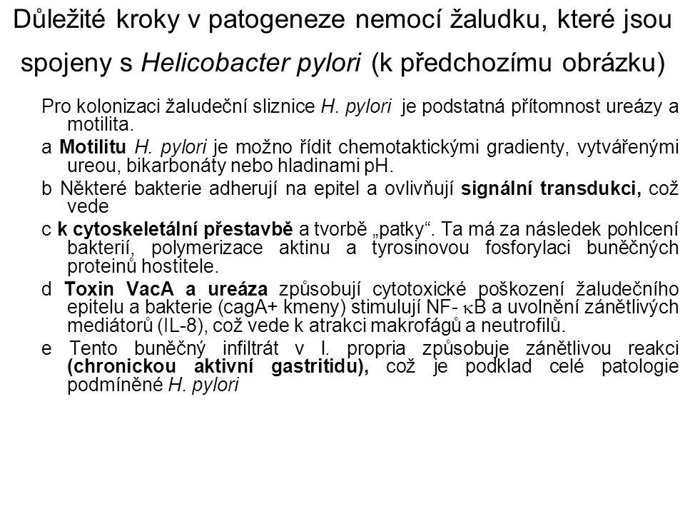 Důležité kroky v patogeneze nemocí žaludku, které jsou spojeny s Helicobacter pylori (k předchozímu obrázku) Pro kolonizaci žaludeční sliznice H. pylo