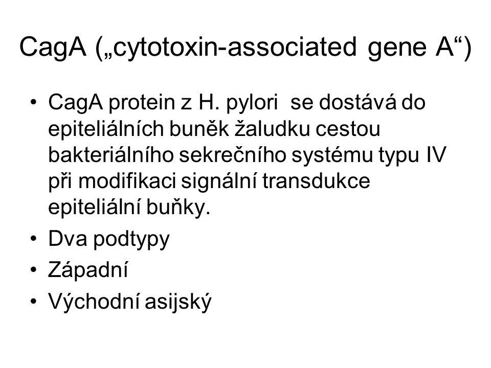 """CagA (""""cytotoxin-associated gene A"""") CagA protein z H. pylori se dostává do epiteliálních buněk žaludku cestou bakteriálního sekrečního systému typu I"""