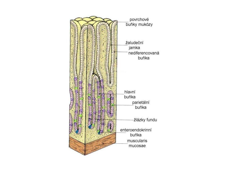Slizniční bariéra Sliznice žaludku, zejména podél velké kurvatury, se skládá do tenkých záhybů.
