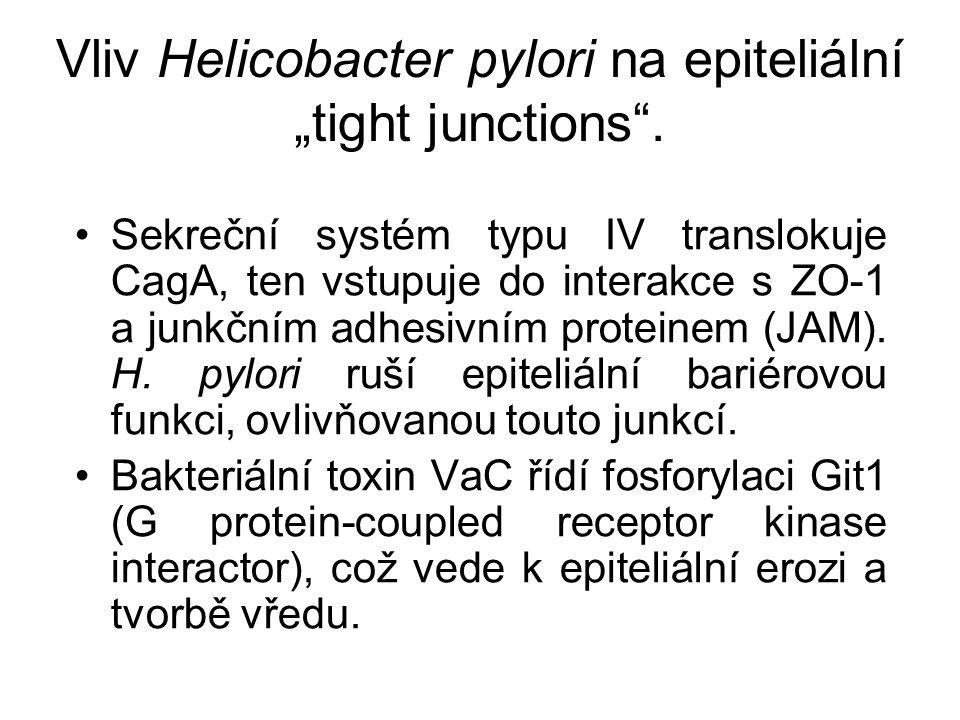 """Vliv Helicobacter pylori na epiteliální """"tight junctions"""". Sekreční systém typu IV translokuje CagA, ten vstupuje do interakce s ZO-1 a junkčním adhes"""