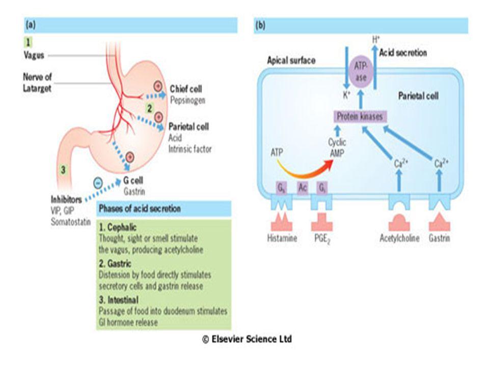 Sekrece HCl žaludeční parietální buňkou
