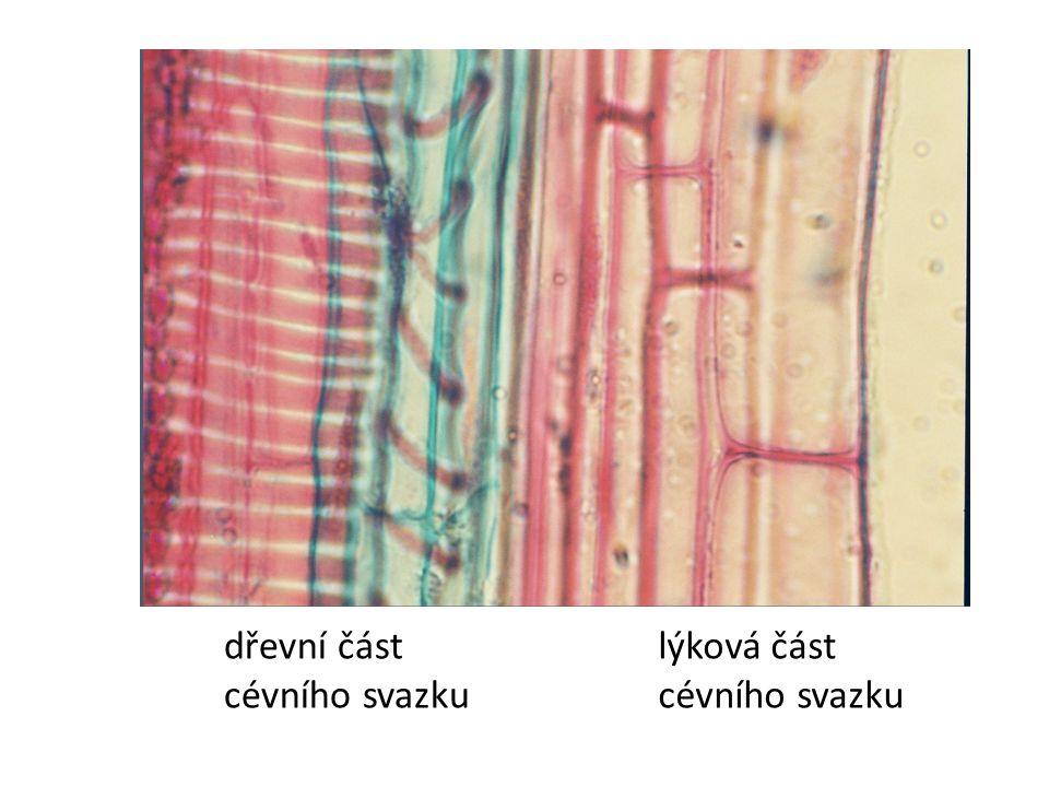 dřevní část cévního svazku lýková část cévního svazku