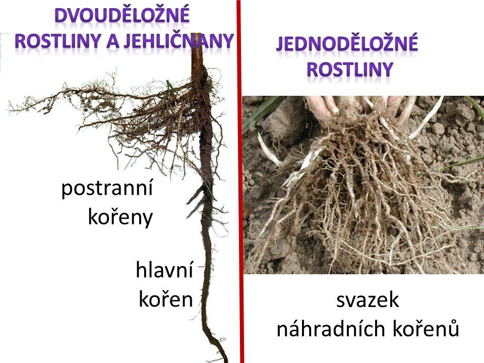 hlavní kořen postranní kořeny svazek náhradních kořenů
