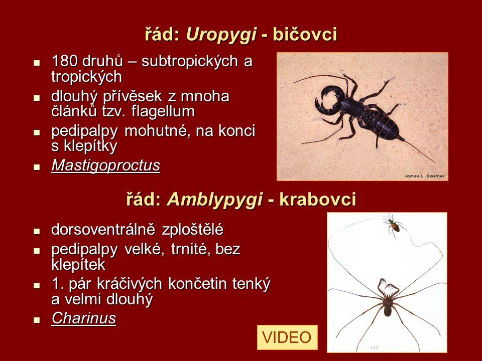 řád: Araneida - pavouci 34 000 druhů,v ČR cca 800 druhů 34 000 druhů,v ČR cca 800 druhů ve všech terestrických biotopech ve všech terestrických biotopech od 1 mm po 9 cm od 1 mm po 9 cm chelicery s jedovou žlázou chelicery s jedovou žlázou pedipalpy makadlovité, u samců upravené v sekundární kopulační orgány pedipalpy makadlovité, u samců upravené v sekundární kopulační orgány 4 páry kráčivých končetin (coxa, trochanter, femur, patella, tibia, dvoučlánkové chodidlo – metatarsus, tarsus) 4 páry kráčivých končetin (coxa, trochanter, femur, patella, tibia, dvoučlánkové chodidlo – metatarsus, tarsus) Araneus diadematus (křižák obecný)