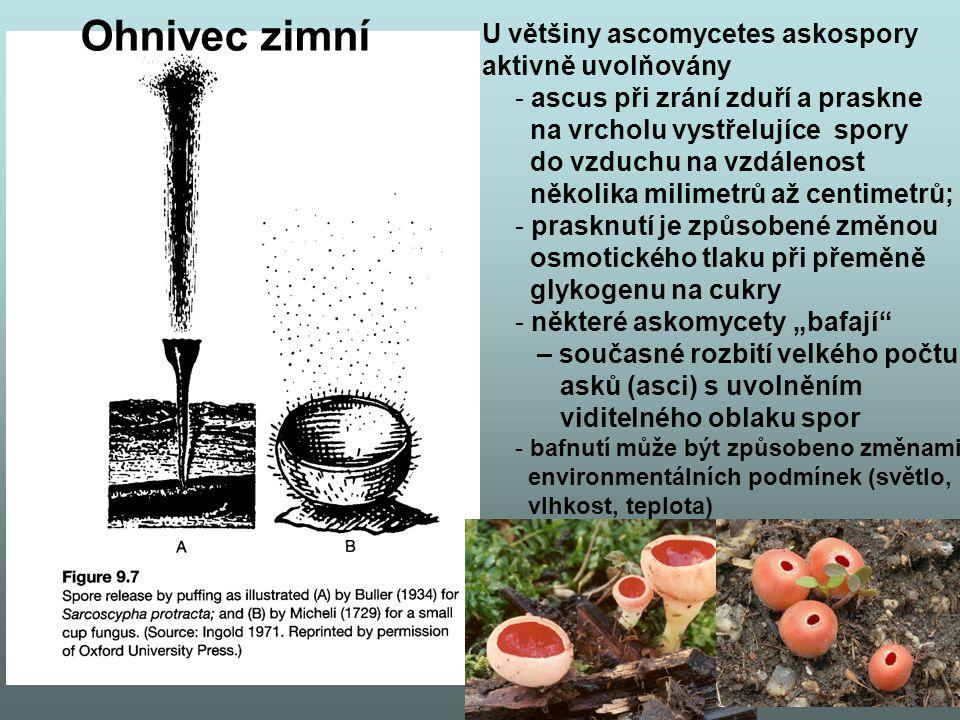 """U většiny ascomycetes askospory aktivně uvolňovány - ascus při zrání zduří a praskne na vrcholu vystřelujíce spory do vzduchu na vzdálenost několika milimetrů až centimetrů; - prasknutí je způsobené změnou osmotického tlaku při přeměně glykogenu na cukry - některé askomycety """"bafají – současné rozbití velkého počtu asků (asci) s uvolněním viditelného oblaku spor - bafnutí může být způsobeno změnami environmentálních podmínek (světlo, vlhkost, teplota) Ohnivec zimní"""