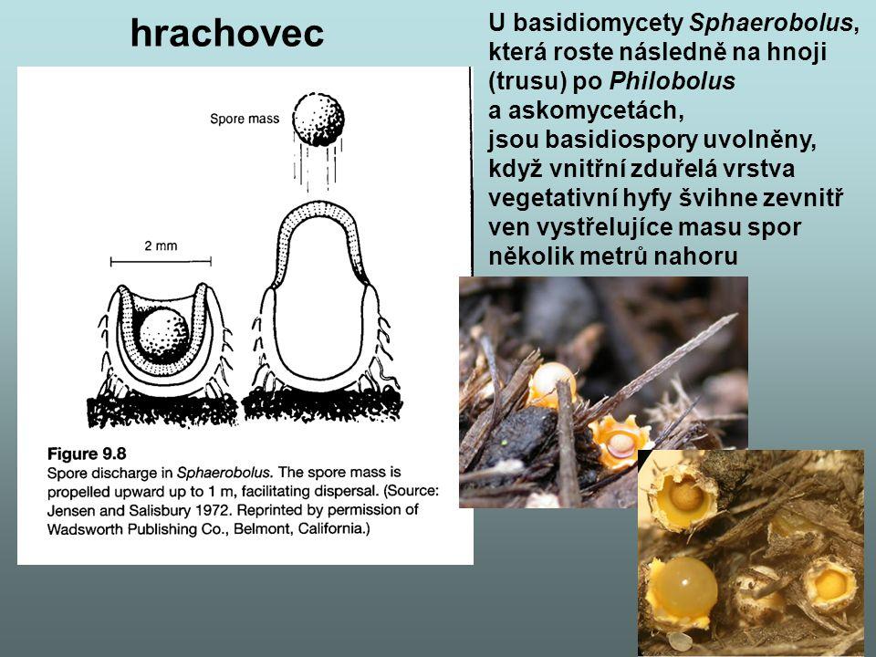 U basidiomycety Sphaerobolus, která roste následně na hnoji (trusu) po Philobolus a askomycetách, jsou basidiospory uvolněny, když vnitřní zduřelá vrstva vegetativní hyfy švihne zevnitř ven vystřelujíce masu spor několik metrů nahoru hrachovec