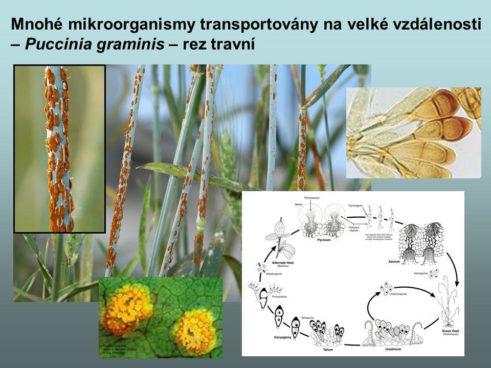 Mnohé mikroorganismy transportovány na velké vzdálenosti – Puccinia graminis – rez travní