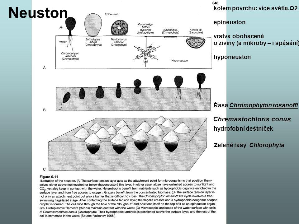 Řasa Chromophyton rosanoffi Zelené řasy Chlorophyta kolem povrchu: více světla,O2 epineuston vrstva obohacená o živiny (a mikroby – i spásání) hyponeuston hydrofobní deštníček Neuston Chremastochloris conus