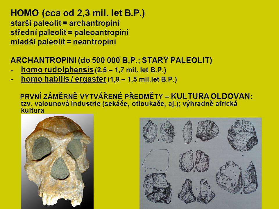 HOMO (cca od 2,3 mil. let B.P.) starší paleolit = archantropini střední paleolit = paleoantropini mladší paleolit = neantropini ARCHANTROPINI (do 500