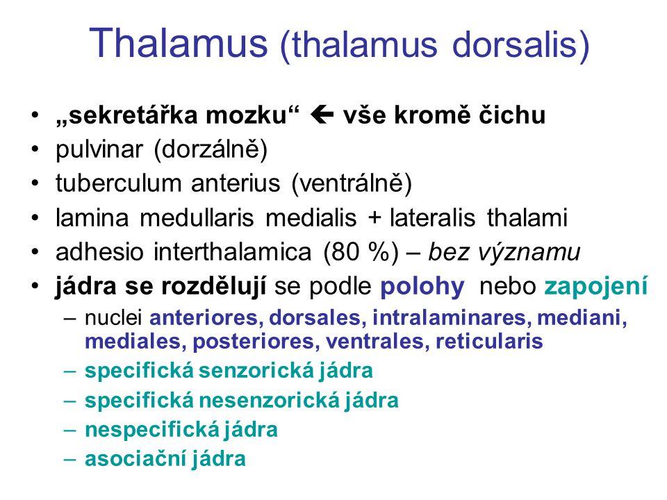 "Thalamus (thalamus dorsalis) ""sekretářka mozku""  vše kromě čichu pulvinar (dorzálně) tuberculum anterius (ventrálně) lamina medullaris medialis + lat"