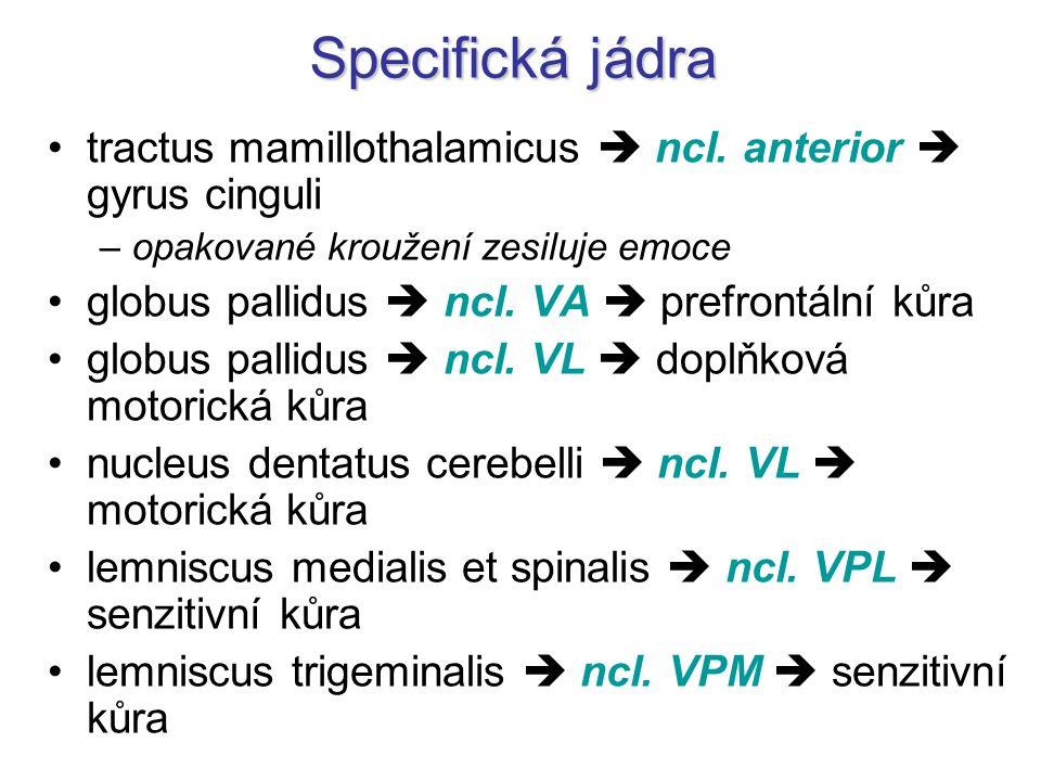 Specifická jádra tractus mamillothalamicus  ncl. anterior  gyrus cinguli –opakované kroužení zesiluje emoce globus pallidus  ncl. VA  prefrontální