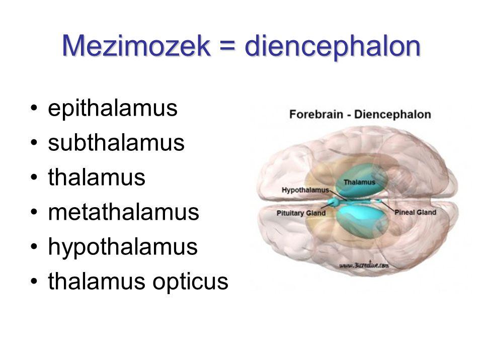 epithalamus subthalamus thalamus metathalamus hypothalamus thalamus opticus Mezimozek = diencephalon