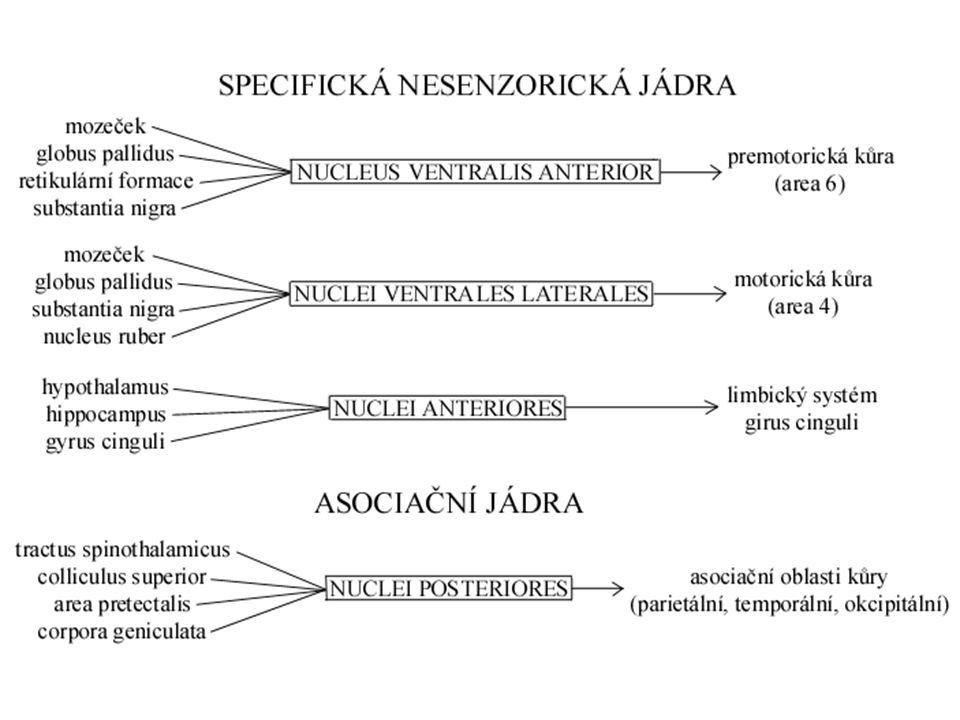 """Zapojení thalamu Mozková kůra tractus thalamocorticalis ↑ ↓ tractus corticothalamicus – silná dráha tlumící thalamus """"čištění dalších příchozích informací"""