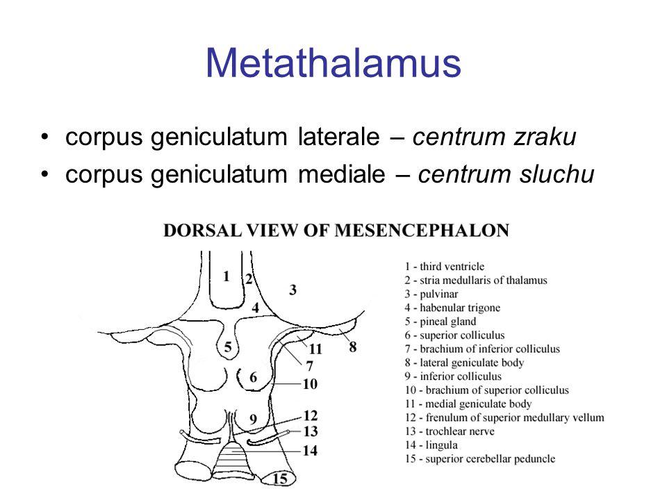 Metathalamus corpus geniculatum laterale – centrum zraku corpus geniculatum mediale – centrum sluchu
