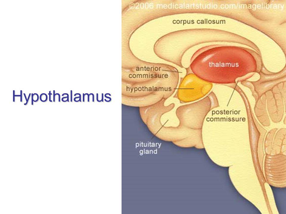 Hypothalamus je derivát visceromotorické zóny bazální ploténky nejvyšší autonomní ústředí infundibulum + hypophysis tuber cinereum (eminentia mediana) + corpus mammillare area preoptica + chiasma et tractus opticus