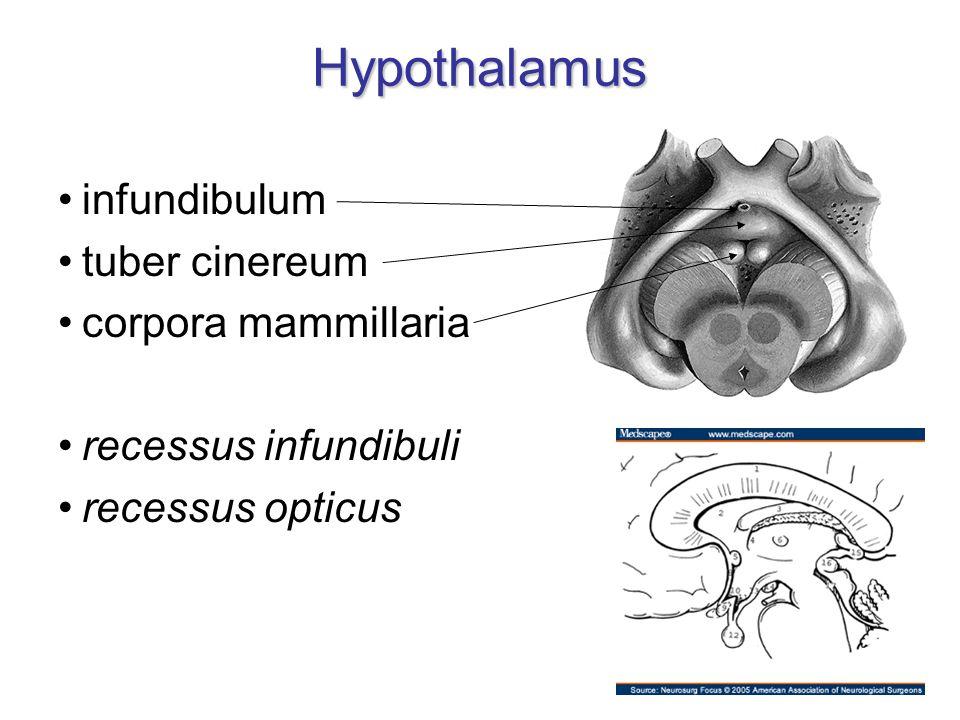 Hypothalamus Hypothalamus – ohraničení nahoře: sulcus hypothalamicus dole: viditelný na dolní ploše mozku vpředu: lamina terminalis vzadu: přechází do tegmentum mesencephali mediálně: 3.