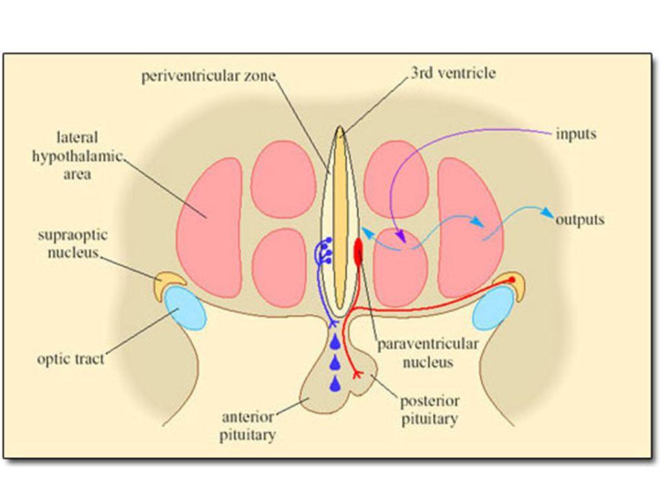 Hypothalamus Hypothalamus – funkce termoregulace –centrum horečky – přední h.
