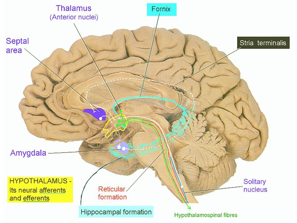 Hypothalamus – bílá hmota fasciculus medialis telencephali = fasciculus prosencephalicus medialis = medial forebrain bundle (MFB) – mezi mediální a laterální zónou jader – propojují hypotalamus s korovým limbickým systémem + limbickým systémem mozkového kmene (+ RF) pedunculus mammillaris - spojuje corpora mammillaria a nucleus dorsalis tegmenti Guddeni (v RF mesencephala) a fasciculus longitudinalis posterior Schützi ncl.