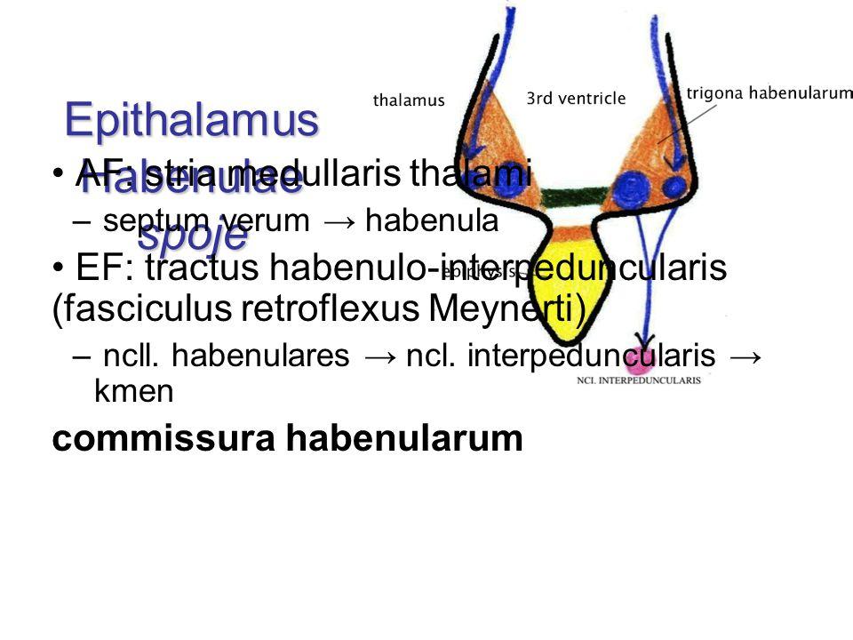 Epithalamus Habenulae spoje AF: stria medullaris thalami – septum verum → habenula EF: tractus habenulo-interpeduncularis (fasciculus retroflexus Meyn