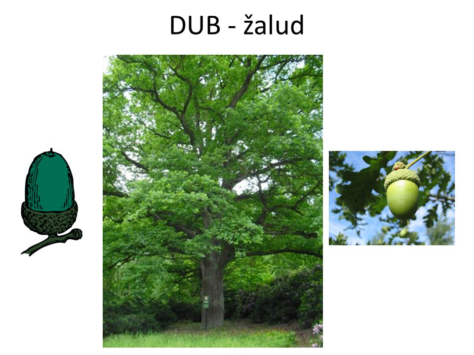 DUB - žalud