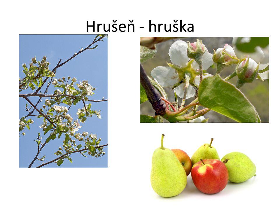 Hrušeň - hruška