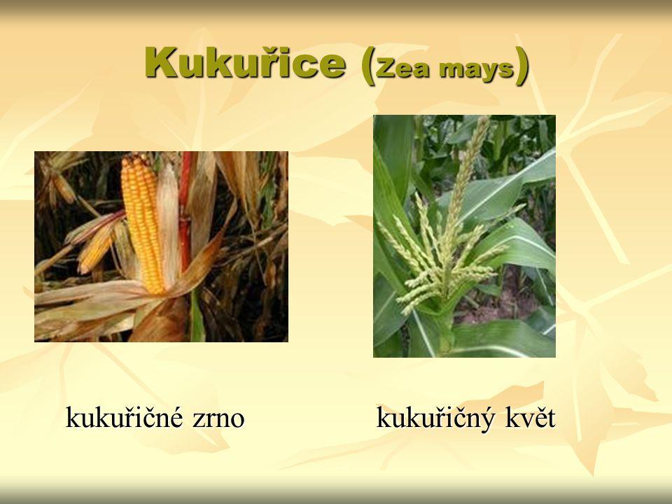 Kukuřice ( Zea mays ) kukuřičné zrnokukuřičný květ