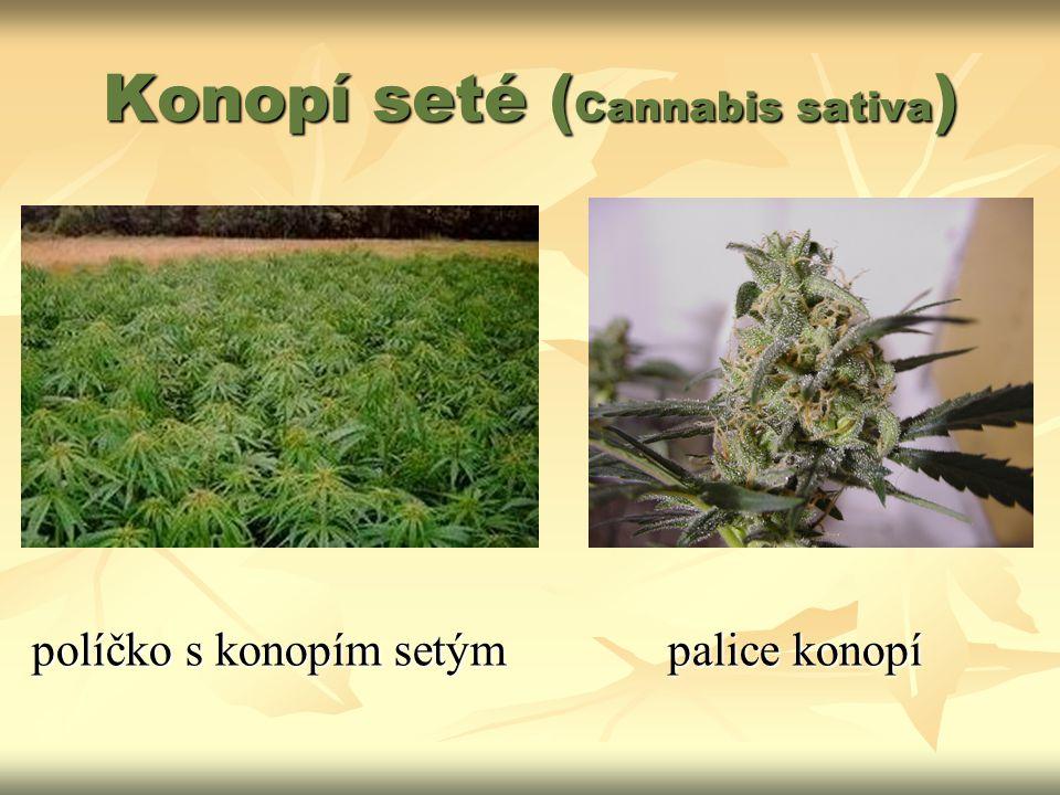 Konopí seté ( Cannabis sativa ) políčko s konopím setýmpalice konopí