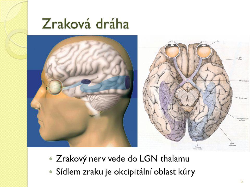 Zraková dráha 5 Zrakový nerv vede do LGN thalamu Sídlem zraku je okcipitální oblast kůry
