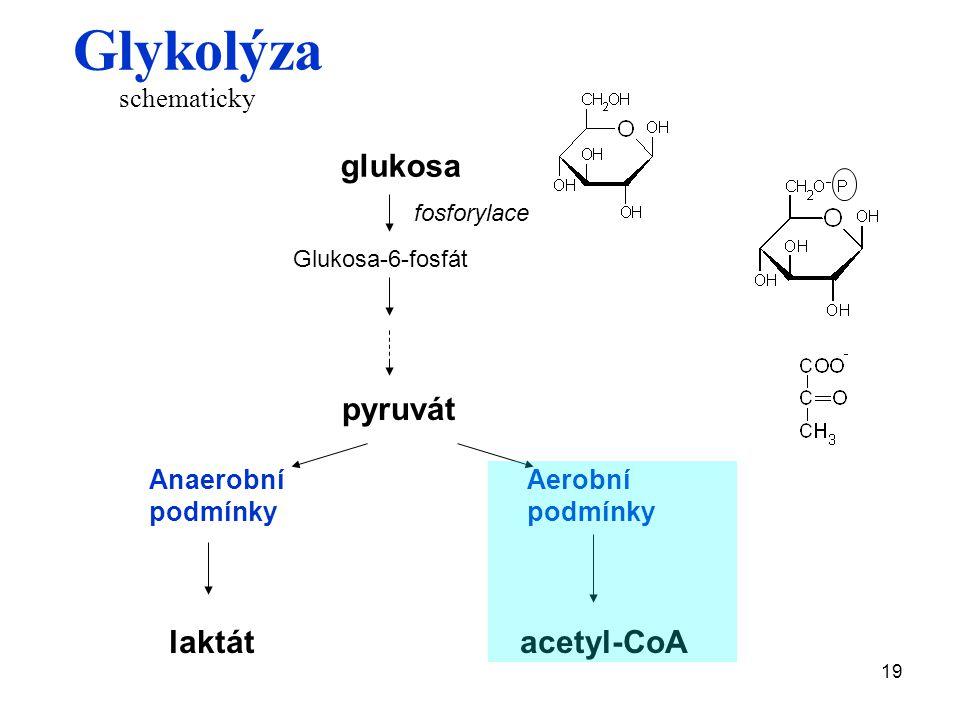 19 glukosa fosforylace Glukosa-6-fosfát pyruvát Anaerobní podmínky Aerobní podmínky laktátacetyl-CoA Glykolýza schematicky