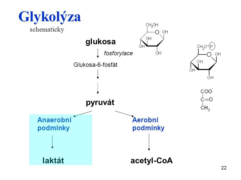 22 glukosa fosforylace Glukosa-6-fosfát pyruvát Anaerobní podmínky Aerobní podmínky laktátacetyl-CoA Glykolýza schematicky