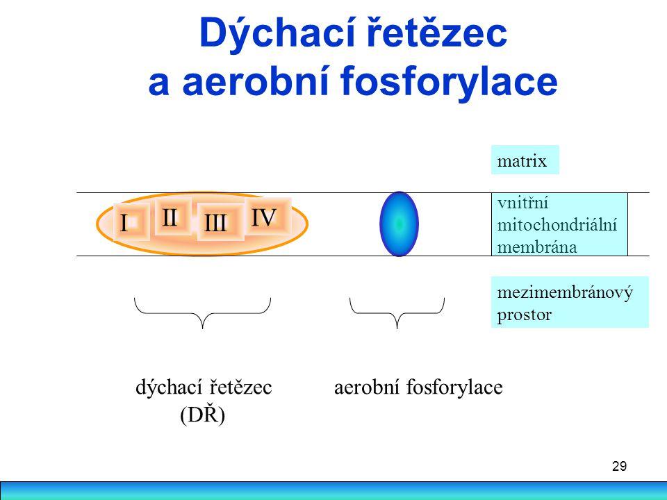 29 Dýchací řetězec a aerobní fosforylace I II III IV vnitřní mitochondriální membrána matrix mezimembránový prostor dýchací řetězec aerobní fosforylac