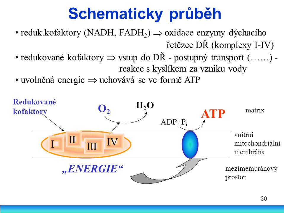 30 Schematicky průběh reduk.kofaktory (NADH, FADH 2 )  oxidace enzymy dýchacího řetězce DŘ (komplexy I-IV) redukované kofaktory  vstup do DŘ - postu