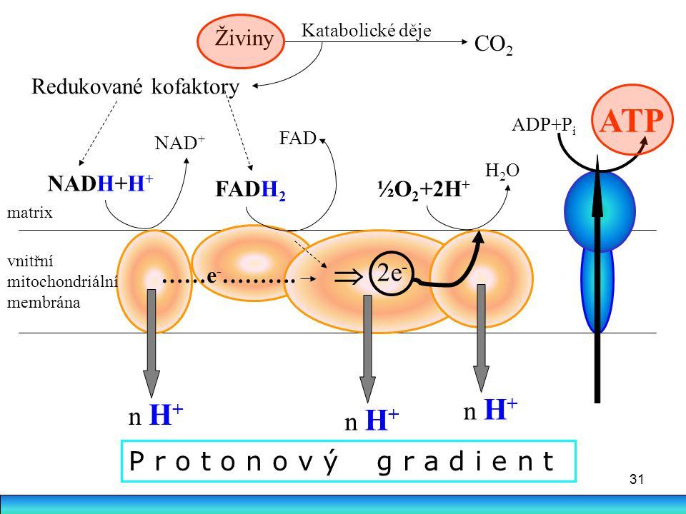 31 vnitřní mitochondriální membrána NADH+H + NAD + FADH 2 FAD  2e - ½O 2 +2H + H2OH2O n H + Živiny CO 2 Redukované kofaktory ATP matrix ……e - ………. Ka