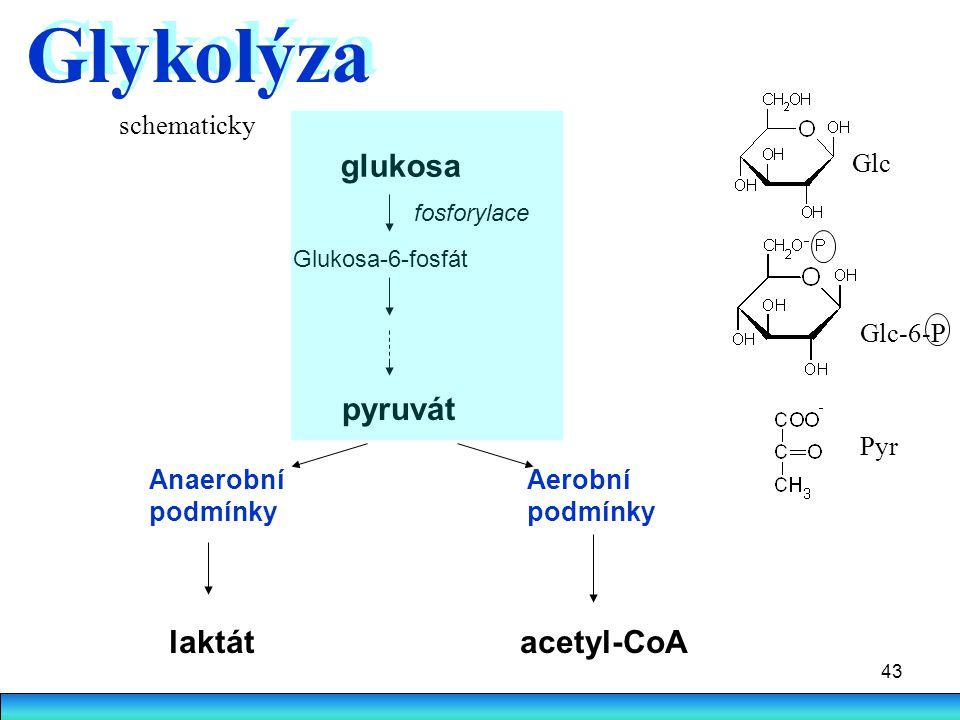 43 Glykolýza glukosa fosforylace Glukosa-6-fosfát pyruvát Anaerobní podmínky Aerobní podmínky laktátacetyl-CoA schematicky Pyr Glc-6-P Glc