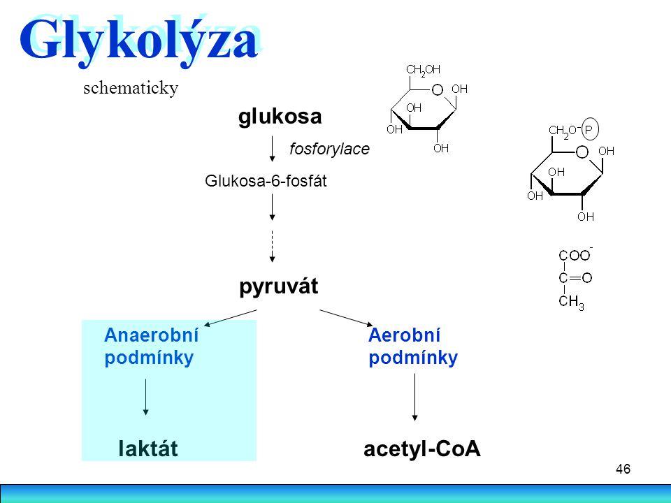 46 glukosa fosforylace Glukosa-6-fosfát pyruvát Anaerobní podmínky Aerobní podmínky laktátacetyl-CoA Glykolýza schematicky
