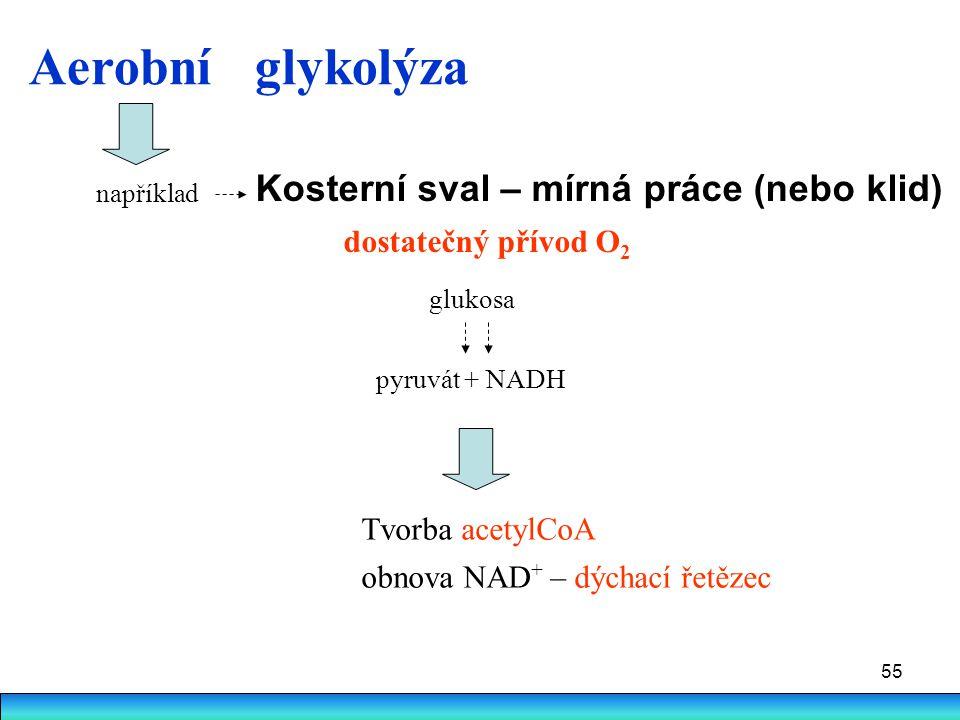 55 pyruvát + NADH Kosterní sval – mírná práce (nebo klid) dostatečný přívod O 2 Tvorba acetylCoA obnova NAD + – dýchací řetězec Aerobní glykolýza gluk