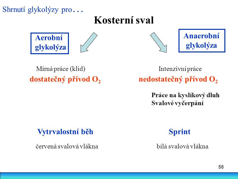 56 Kosterní sval Mírná práce (klid) Intenzivní práce dostatečný přívod O 2 nedostatečný přívod O 2 Anaerobní glykolýza Aerobní glykolýza Vytrvalostní