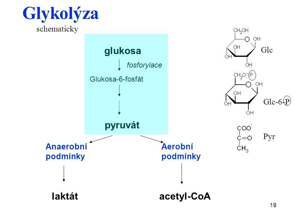 19 Glykolýza glukosa fosforylace Glukosa-6-fosfát pyruvát Anaerobní podmínky Aerobní podmínky laktátacetyl-CoA schematicky Pyr Glc-6-P Glc