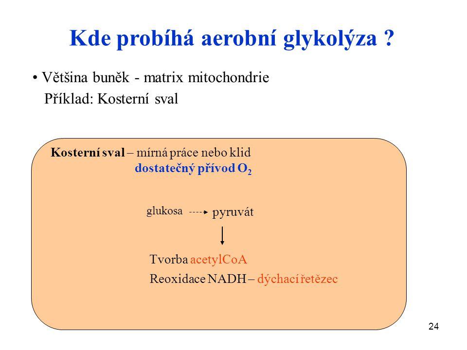 24 Kde probíhá aerobní glykolýza ? Většina buněk - matrix mitochondrie Příklad: Kosterní sval glukosa pyruvát Tvorba acetylCoA Reoxidace NADH – dýchac