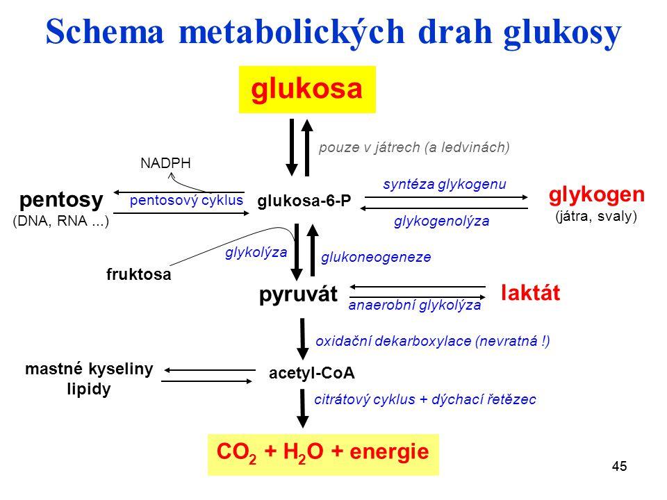 45 Schema metabolických drah glukosy glukosa pentosy (DNA, RNA...) glykogen (játra, svaly) CO 2 + H 2 O + energie pyruvát acetyl-CoA glykolýza oxidační dekarboxylace (nevratná !) citrátový cyklus + dýchací řetězec glukosa-6-P pentosový cyklus NADPH fruktosa glukoneogeneze syntéza glykogenu glykogenolýza laktát anaerobní glykolýza pouze v játrech (a ledvinách) mastné kyseliny lipidy