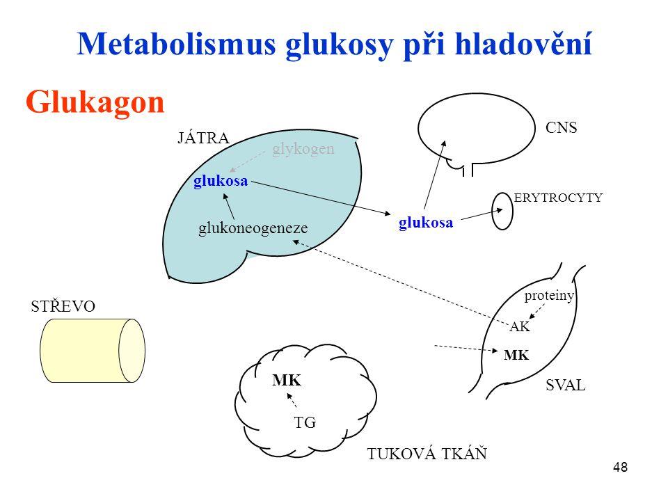 48 STŘEVO JÁTRA CNS ERYTROCYTY SVAL TUKOVÁ TKÁŇ Metabolismus glukosy při hladovění glukosa glykogen MK TG glukosa MK Glukagon glukoneogeneze AK protei