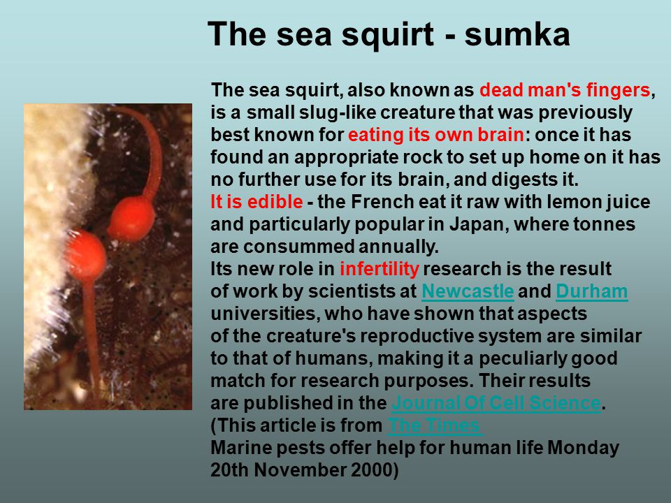 The sea squirt, also known as dead man's fingers, is a small slug-like creature that was previously best known for eating its own brain: once it has f
