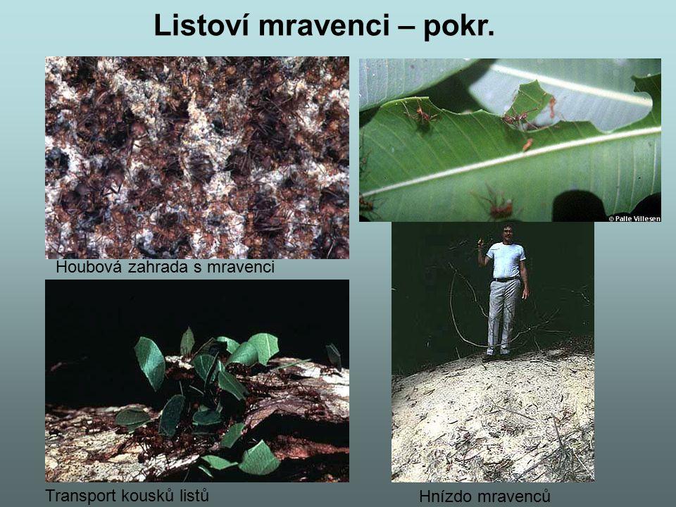 Krmení larvy vojáka Matka na houbové zahradě Listoví mravenci – pokr.