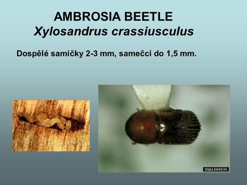 AMBROSIA BEETLE – pokr.
