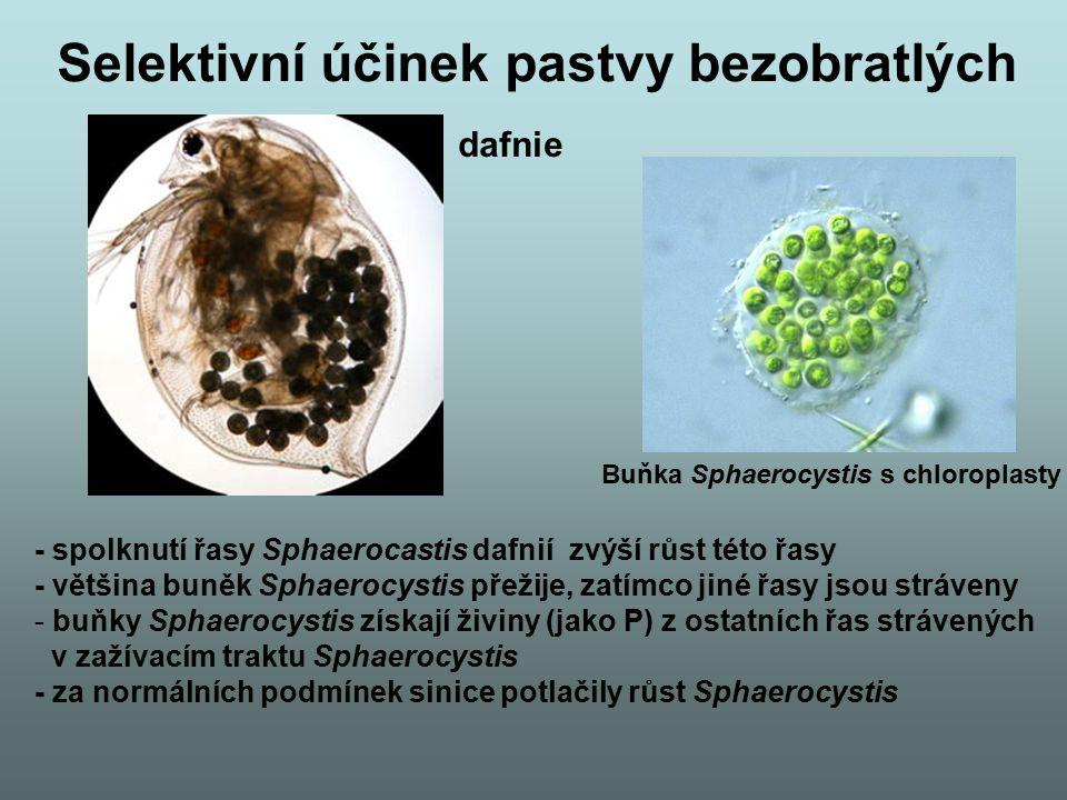 """""""Filter feeders - jiná strategie - přisedlí bentičtí bezobratlých a planktoničtí bezobratlí vznášející se ve vodním sloupci - zůstávají víceméně nehybní a filtrují kořist ze suspenze - energeticky výhodné vzhledem k nepatrné velikosti kořisti a jejímu homogennímu rozšíření v suspenzi - tito živočichové udržují proud vody za použití cilií nebo jiných modifikovaných orgánů (legs, antennae, tentacles, gills - žábra, tails) - filtrace mikrobů přes žábra (zároveň kyslík), tentacles, slizové sitě - zvlášť účinné u ústřic a sumek """"sea squirts (Ascidians) - zachytí dokonce i viry - naši příbuzní – Chordata - velcí 3 cm, přefiltrují 1l/hod - čistí vodu a uvolňují živiny pro ostatní"""