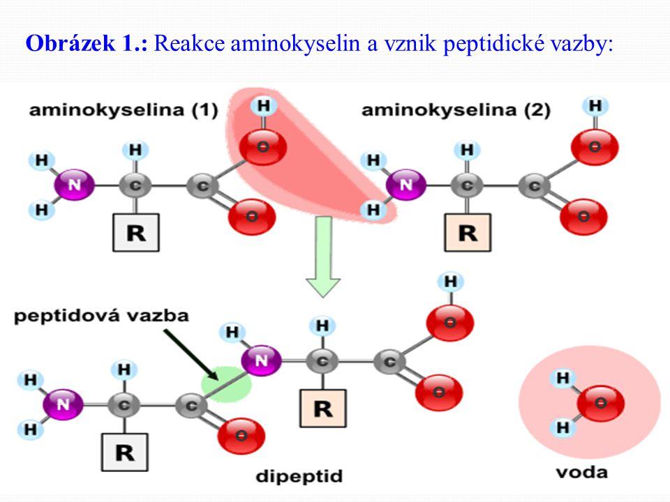 Pokuste se o definici proteinů svými vlastními slovy: Bílkoviny jsou organické, polymerní, makromolekulární látky, jejichž základními stavebními jednotkami jsou aminokyseliny vzájemně spojené tzv.