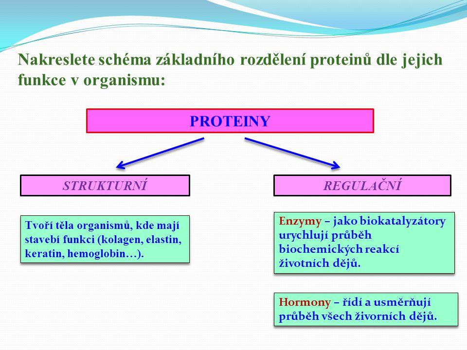 Nakreslete schéma základního rozdělení proteinů dle jejich funkce v organismu: PROTEINY STRUKTURNÍREGULAČNÍ Tvoří těla organismů, kde mají stavebí funkci (kolagen, elastin, keratin, hemoglobin…).