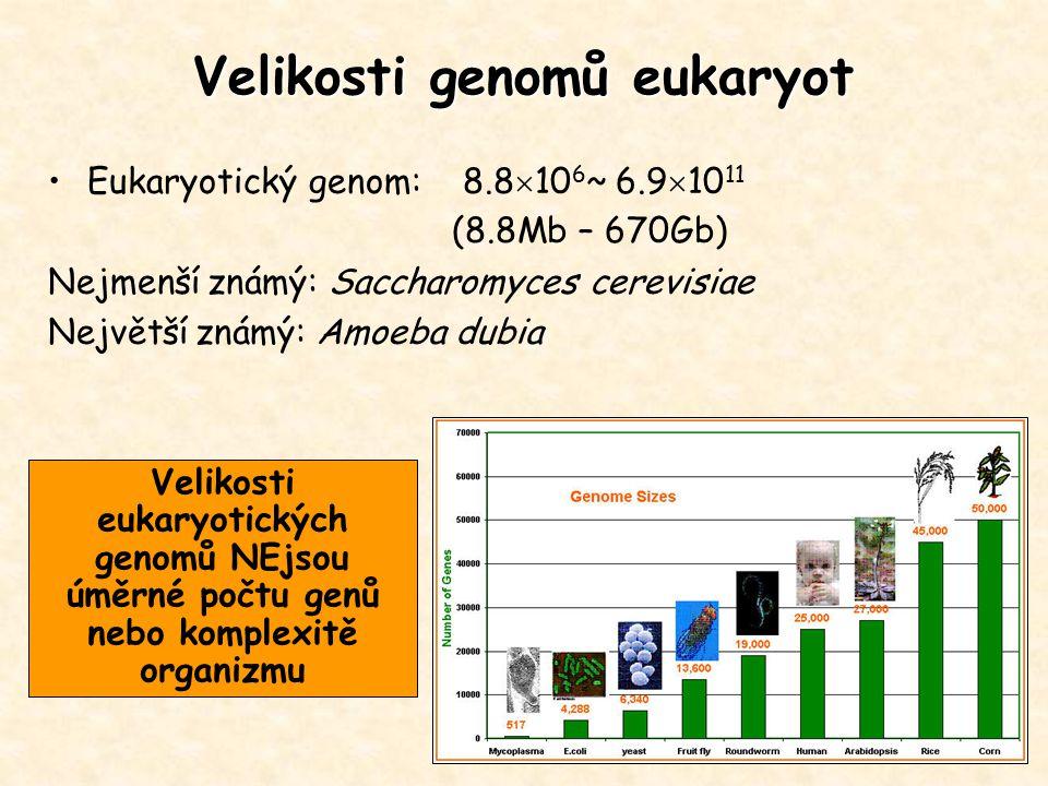 Eukaryotický genom: 8.8  10 6 ~ 6.9  10 11 (8.8Mb – 670Gb) Nejmenší známý: Saccharomyces cerevisiae Největší známý: Amoeba dubia Velikosti genomů eu