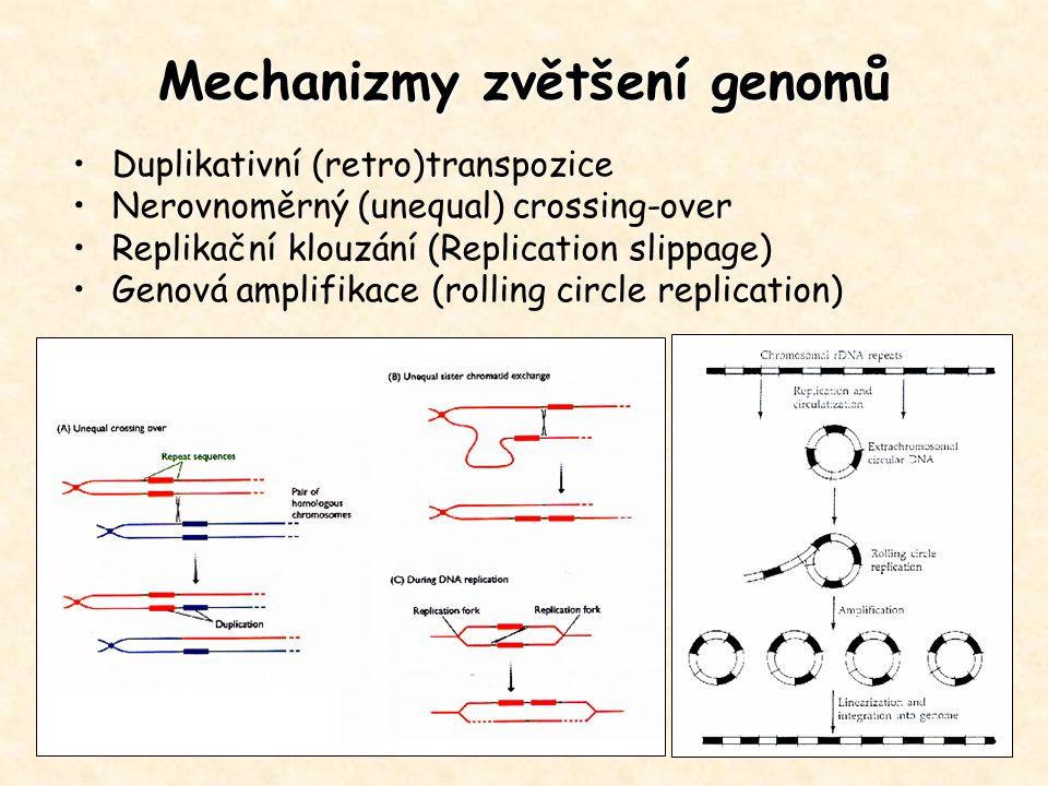 Mechanizmy zvětšení genomů Duplikativní (retro)transpozice Nerovnoměrný (unequal) crossing-over Replikační klouzání (Replication slippage) Genová ampl